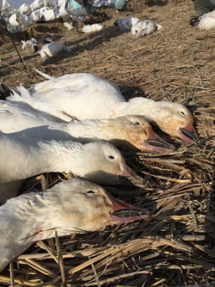 Spring Snow Goose Hunting Www.huntupnorth.com 200