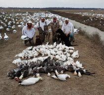 Spring Snow Goose Hunting Www.huntupnorth.com 208