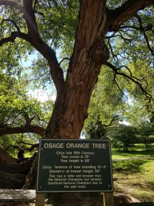 Osage Orange Tree in Old Fort Harrod, Mercer County KY