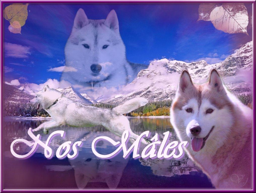 Nos mâles Husky Sibérien