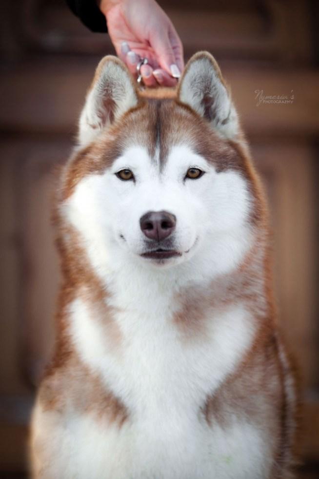 élevage de husky à Hyères