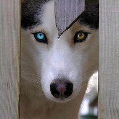 bi-eyed husky