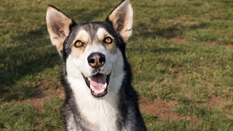 Adopt Tala - Husky Rescue South Africa