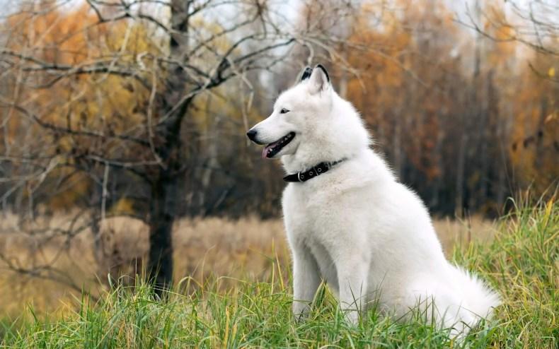 white-siberian-husky