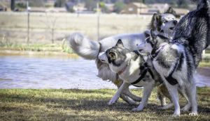 Best Reasons to get a Siberian Husky