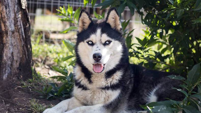 Adopt PHOENIX Husky Rescue South Africa