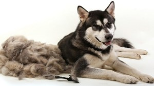 How To Groom Your Husky