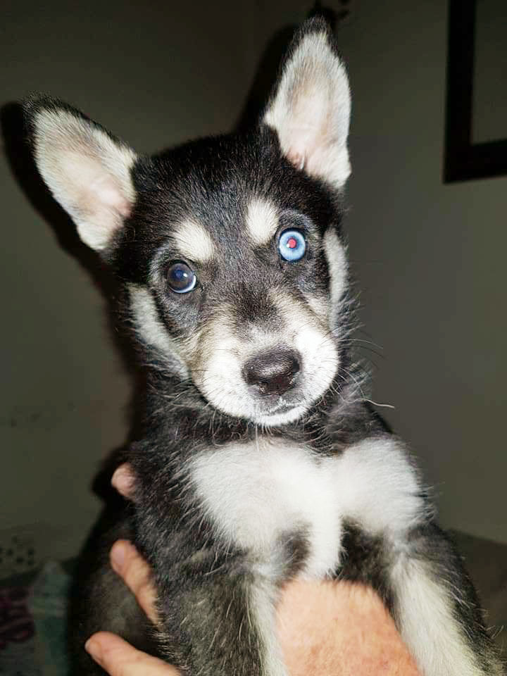 Adopt Aspen Husky Rescue South Africa