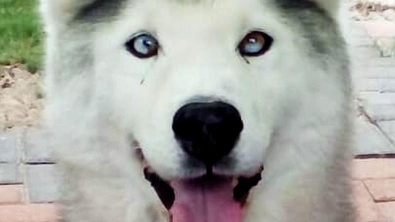 Adopt a husky