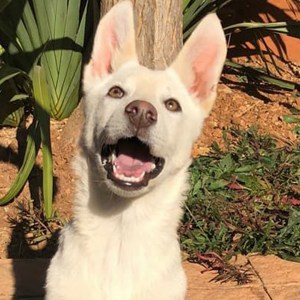 Adopt Chloe Husky Rescue South Africa