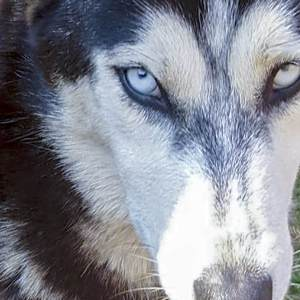 Adopt SKYE Husky Rescue South Africa