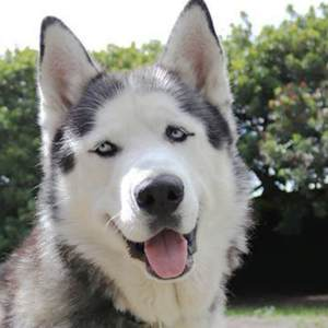 Adopt Snow Husky Rescue South Africa