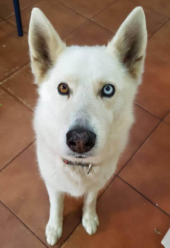 Adopt Silver Husky Rescue South Africa