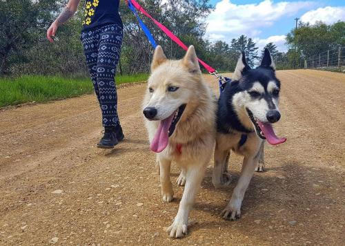 Adopt Sasha Husky Rescue South Africa