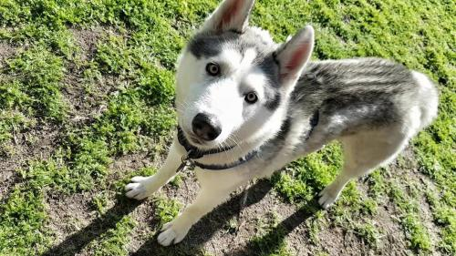 Adopt Khan Husky Rescue South Africa