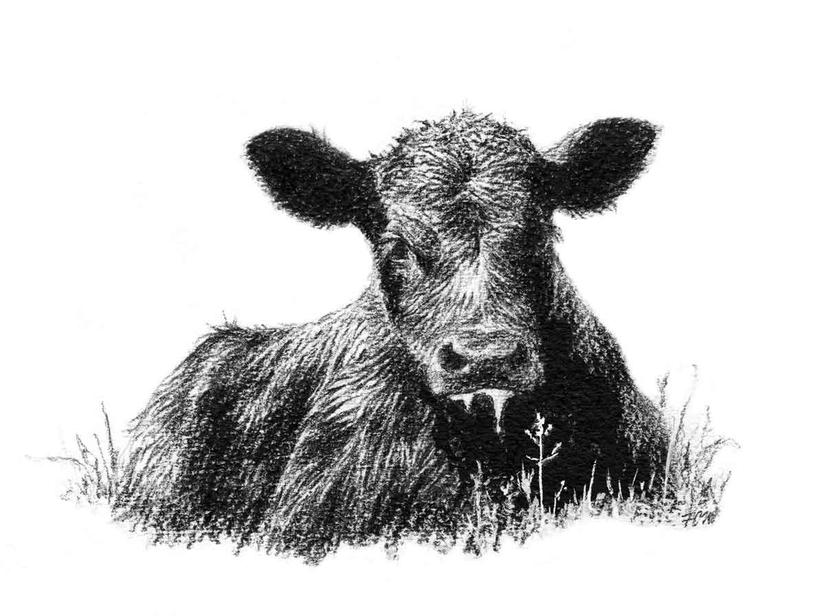 Black White Clip Angus And Bull Art
