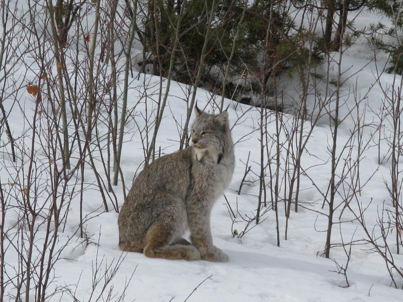 Canada Lynx - Photo: Dawn Nowlin
