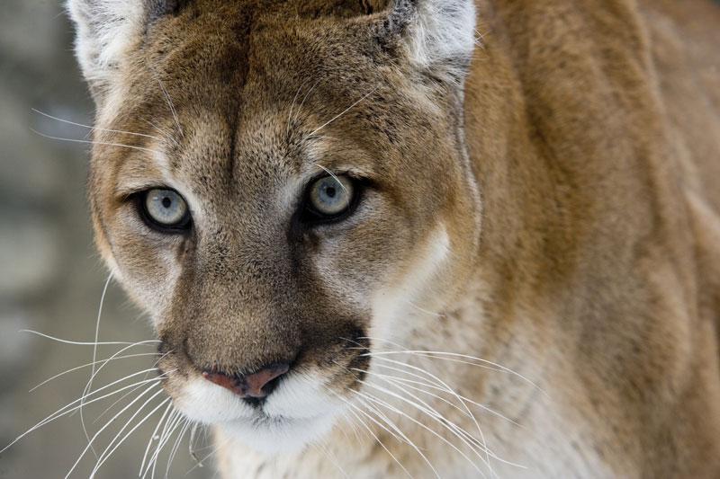 Cougar - Photo: Thinkstock