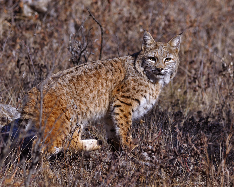 Many smaller mammals, such as. Hinterland Who S Who Boreal Forest