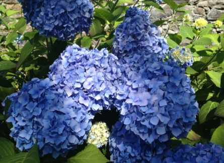 blue mop head hydrangea flower