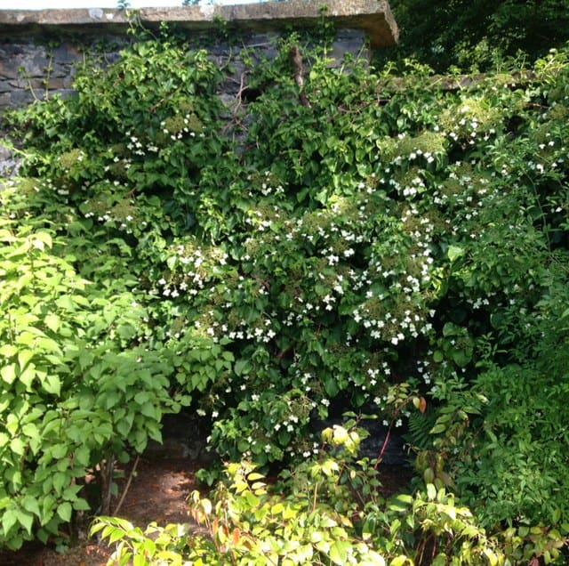 climbing hydrangea along house wall garden