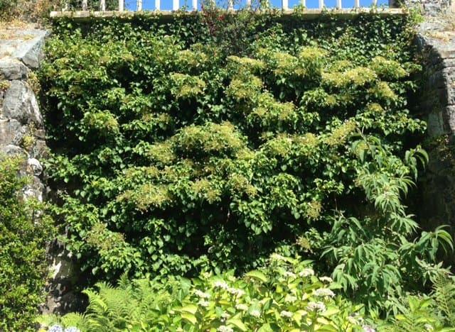 climbing hydrangea along wall