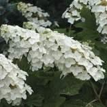 Oakleaf Hydrangea Flower