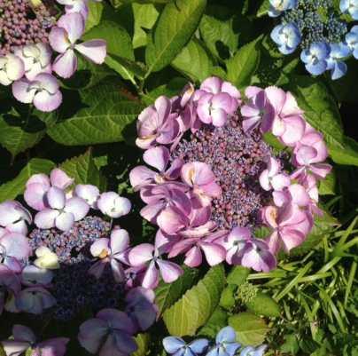 lacecap hydrangea lavender