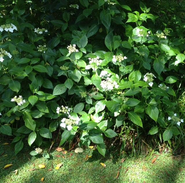 large hydrangea grown in semi-shade