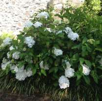 large white mop head hydrangea