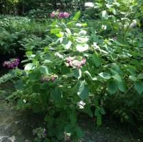 Dark pink hydrangea