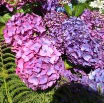 pinky blue hydrangea