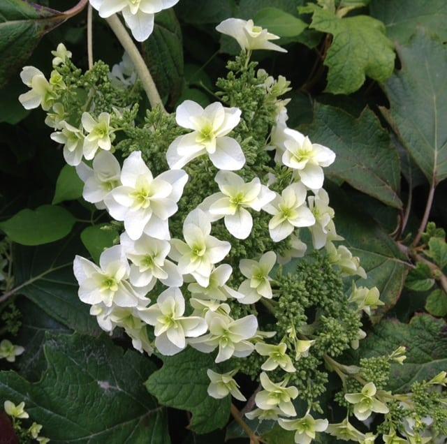 white oakleaf hydrangea