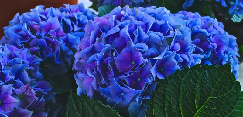 Do hydrangeas need ericaceous compost