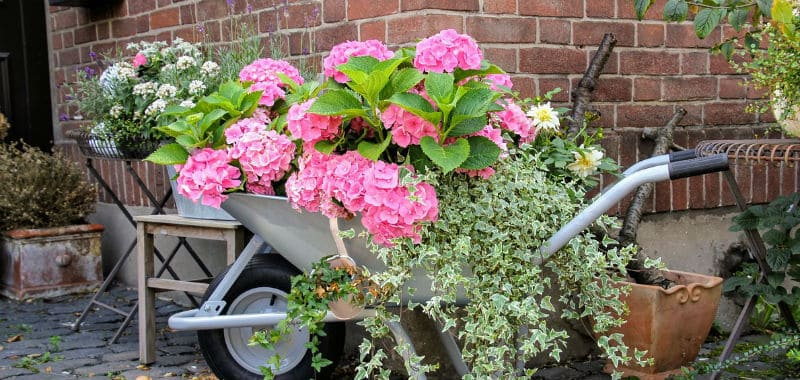 Potted hydrangea care - What you need to know