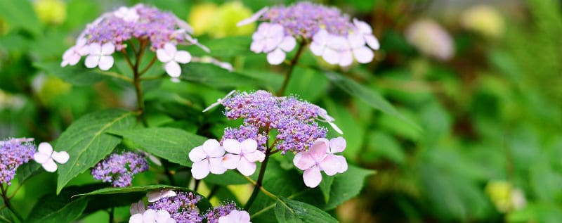 What time of year to take hydrangea cuttings