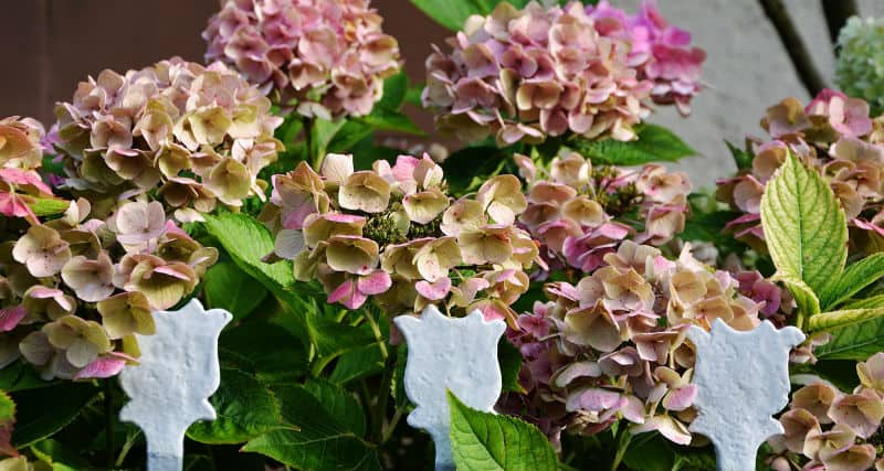 When should hydrangeas be pruned