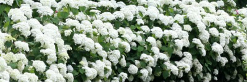 Best Hydrangeas For Hedging - A simple guide to choosing a hydrangea to form a hedge