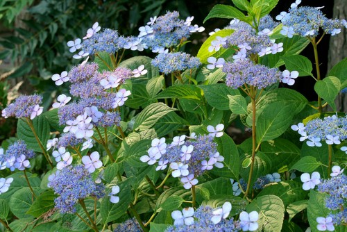 You can alter the color of the flowers that are produced on your lacecap hydrangea by changing the soil pH levels. If you prefer blue blooms you can use the 10-10-10 fertilizer mixture. Blue flowers will grow if you have a lower pH in your soil typically between 5.0 and 5.5. If you want pink flowers you can use the other fertilizers because pink flowers are produced with higher PH soil composition typically between 6.5 and 7.0.