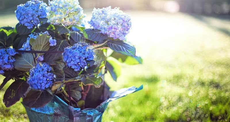 Do hydrangeas like acid or alkaline soil