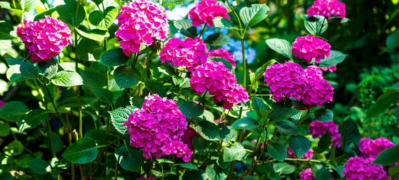 Hydrangea growing conditions - A Simple Guide to giving them the best start
