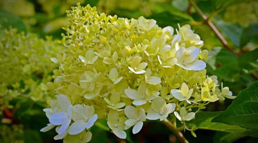 Hydrangea paniculata growing guide