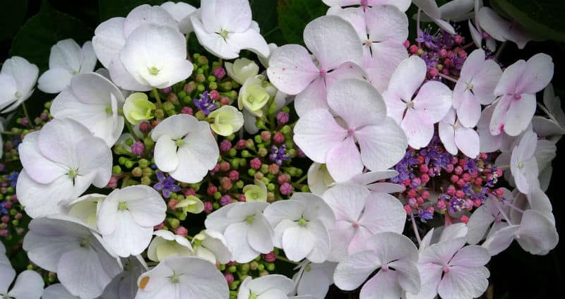 The best small hydrangeas - How to keep hydrangeas small.