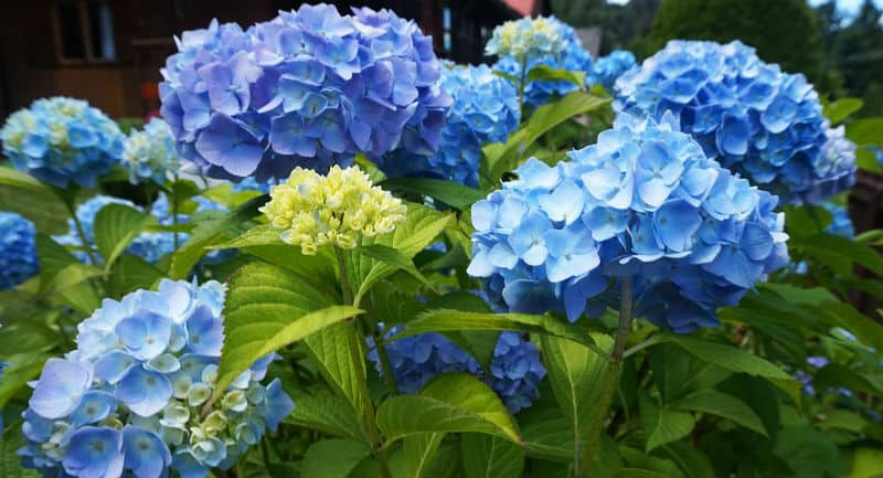 When to use ericaceous compost for hydrangeas