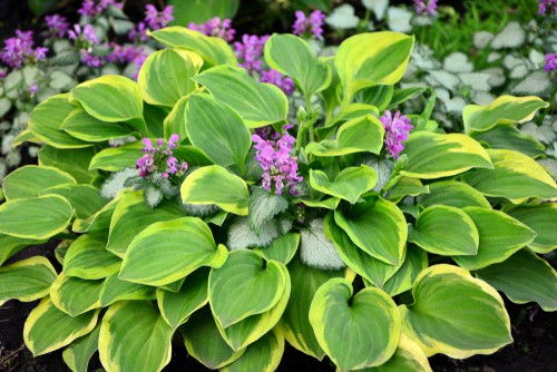 Hosta with its teardrop shaped leaves and foliage very similar in shape to that of the mop head hydrangea. Moreover you can find plenty of flower colors similar to the variety of colors you can get with the hydrangea.