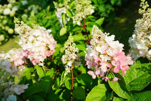 You will start to see flowers with your Pinky Winky around the middle of summer at which point the white, cone-shaped flowers appear.