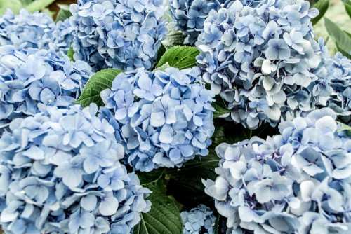 With some hydrangeas, it's possible to change the color of the flowers. This is only possible with the big leaf hydrangeas, specifically mophead and Lacecap varieties.