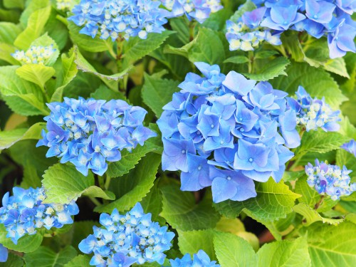 In order to change the color of your hydrangeas if you have a big leaf variety like a mop head or lacecap you can use ericaceous compost. Ericaceous compost will make your soil more acidic. Acidic soil produces blue flowers. Not all hydrangeas will produce blue flowers so make sure that you have a big leaf variety, like a mop head or lacecap. In general, white hydrangeas cannot change their colours.