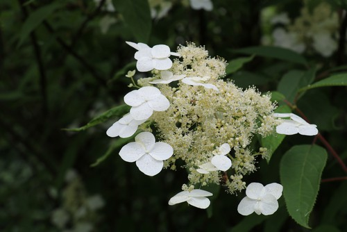 The hydrangea Annabelle is a complimentary plant for all manner of gardens especially with the large white flowers that last for a very long time.