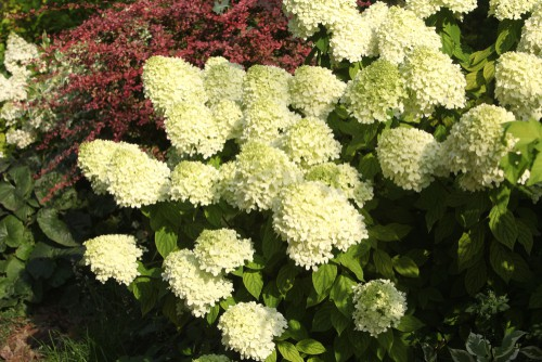 Caring for your limelight hydrangea